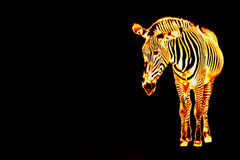 Fiery Flaming Zebra. A fiery zebra isolated over a black background with copyspace Royalty Free Stock Images