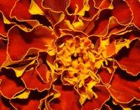 Fiery flower Royalty Free Stock Photo