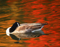 Free Fiery Goose Royalty Free Stock Image - 29194426