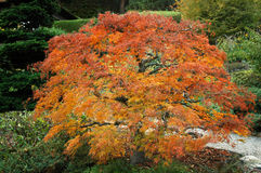 Fiery Japanese Maple. A beautiful Japanese Maple in a garden setting royalty free stock image