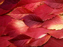 Fiery leaves Royalty Free Stock Photos