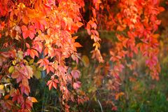 Fiery light. The fiery light on the autumn leaves Stock Photography