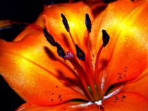 Fiery lilies. Vivid macro shot of asiatic lily flowers with bright orange coloration on dark background strongly Stock Image