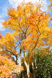 FIery magnificent maple tree in Fall Stock Photography