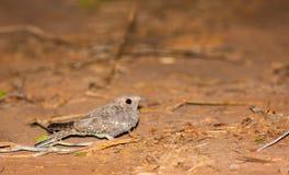 Fiery-necked Nightjar on ground Stock Photo