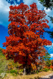 Fiery Orange Fall Foliage of Lost Maples State Park, Texas Royalty Free Stock Photo