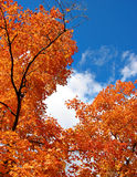 Fiery Orange Leaves. Autumn scene Royalty Free Stock Photography