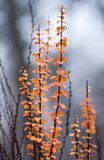 Fiery orange oval leaves on a decorative bush Stock Images