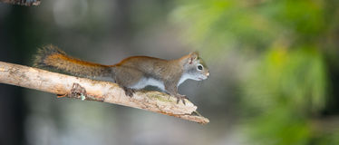 Fiery orange Springtime Red squirrel, full length on branch.  Quick little woodland creature running up & down trees in a woods. Royalty Free Stock Photography