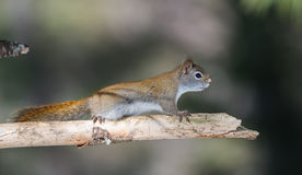 Fiery orange Springtime Red squirrel, full length on branch.  Quick little woodland creature running up & down trees in a woods. Royalty Free Stock Images