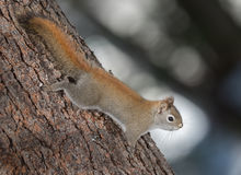 Fiery orange Springtime Red squirrel, full length on a tree.  Quick little woodland creature running up and down trees in a woods. Royalty Free Stock Photography