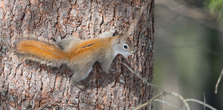 Fiery orange Springtime Red squirrel, full length on a tree.  Quick little woodland creature running up and down trees in a woods. Royalty Free Stock Photo
