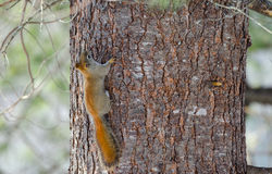 Fiery orange Springtime Red squirrel, full length on a tree.  Quick little woodland creature running up and down trees in a woods. Stock Image