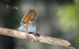 Fiery orange Springtime Red squirrel on a pine branch.  Quick little woodland creature running up & down woodland trees. Royalty Free Stock Photography