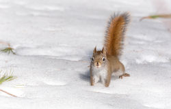 Fiery orange tail, Red squirrel on Springtime corn snow looking for num nums to eat in corn snow of Northern Ontario woodland. Fiery orange stripe Red squirrel Stock Images