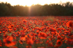 Fiery poppies. Field of poppies on a sunset Stock Photos