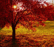 Fiery red bush. Fiery red autumn bush at sunset Stock Photo