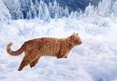A fiery-red cat walks against a background of snow-covered forest. stock images