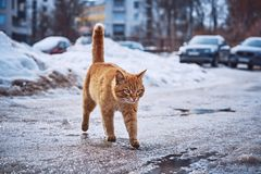 Fiery-red cat walks on wet asphalt and puddles stock photos