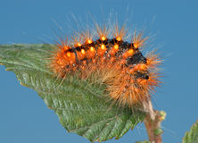 Free Fiery-red Caterpillar. Royalty Free Stock Photography - 11842787