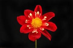 Fiery red dahlia against black. Fiery red dahlia flower isolated against black Stock Photos