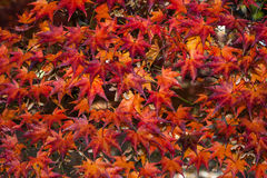 Fiery Red Maple Leaves Royalty Free Stock Images