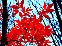 Fiery-red maples in autumn royalty free stock image
