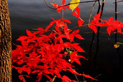 Fiery-red maples in autumn (III) Stock Images