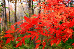 Fiery-red maples in autumn (IV) Stock Photo