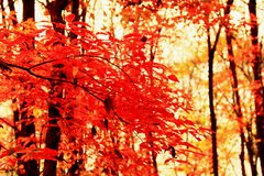 Fiery-red maples in autumn (V) Stock Photos