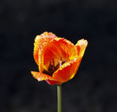 Fiery-red tulip close-up. On a dark background Royalty Free Stock Image
