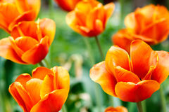 Fiery red tulips on blurred background Royalty Free Stock Images