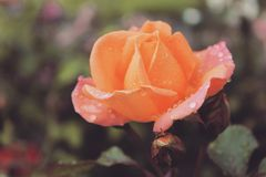 Fiery rose Royalty Free Stock Photos