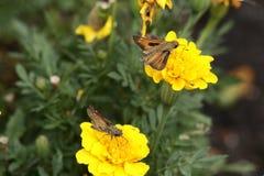 Fiery skipper butterflies. A pair of skippers in a Missouri butterfly garden Royalty Free Stock Photos
