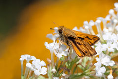 Fiery skipper butterfly drinks nectar. Fiery butterfly sips nectar from a flower of a white butterfly bush; shallow focus; background from out of focus yellow/ royalty free stock images