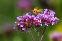 Fiery Skipper Butterfly. Perched on a purple flower. Edwards gardens, Toronto, Ontario, Canada Royalty Free Stock Images