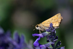 Fiery Skipper Stock Photos