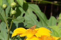 Sunflower Fiery Skipper. A Fiery Skipper enjoying breakfast on a Waimanalo sunflower.  Hylephila phyleus Royalty Free Stock Images