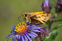 Fiery Skipper. Feeding on wildflowers stock photo