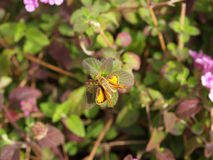 Fiery Skipper Yellow butterfly sitting on leaf Stock Photography
