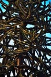 The fiery snake or monkey tree, close up Stock Image