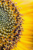 Fiery sunflower Royalty Free Stock Photos