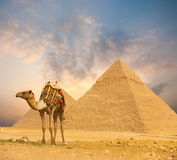 Fiery Sunset Egypt Pyramids Camel Foreground H. Wide sky sunset behind Egyptian Pyramids Khafre and colorfully outfitted standing camel at evening in Giza, Cairo stock photo