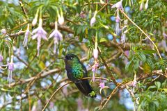 Fiery-Throated Hummingbird royalty free stock images