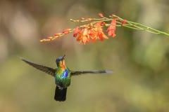 Fiery-throated Hummingbird - Panterpe insignis royalty free stock image