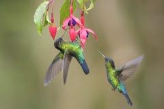 Fiery-throated Hummingbird - Panterpe insignis royalty free stock photo