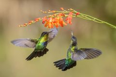 Fiery-throated Hummingbird - Panterpe insignis. Beautiful colorful hummingbird from Central America forests, Costa Rica royalty free stock photos