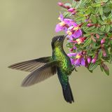 Fiery-throated Hummingbird - Panterpe insignis. Beautiful colorful hummingbird from Central America forests, Costa Rica royalty free stock photography