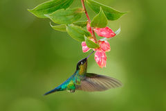 Fiery-throated Hummingbird, Panterpe insignis, flying next to beautiful pink and flower, Savegre, Costa Rica. Bird with bloom. Hum. Fiery-throated Hummingbird stock photos