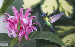 Fiery-throated Hummingbird Panterpe insignis Royalty Free Stock Images